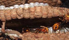 金黄虎头蜂