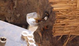 养殖黄腰蜂试验