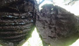 葫芦胡蜂蜂巢内部